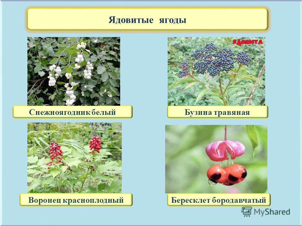 Ядовитые ягоды Снежноягодник белыйБузина травяная Воронец красноплодныйБересклет бородавчатый