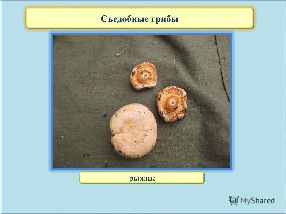Съедобные грибы рыжик