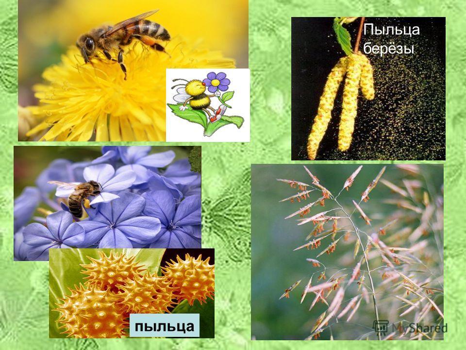 Лепесток 3: 7+ красный 6+ 5+ оранжевый 4+ 3+ синий Признаки ветроопыляемых и насекомоопыляемых растений. Признаки Н В 1. Крупные яркие цветки v 2. Мелкие яркие цветки, собранные в соцветия v 3. Наличие нектара v 4. Мелкие невзрачные цветки, часто соб