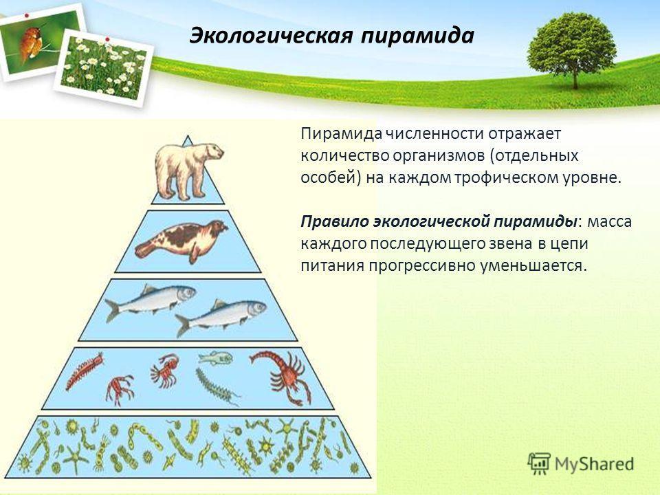 Экологическая пирамида Пирамида численности отражает количество организмов (отдельных особей) на каждом трофическом уровне. Правило экологической пирамиды: масса каждого последующего звена в цепи питания прогрессивно уменьшается.