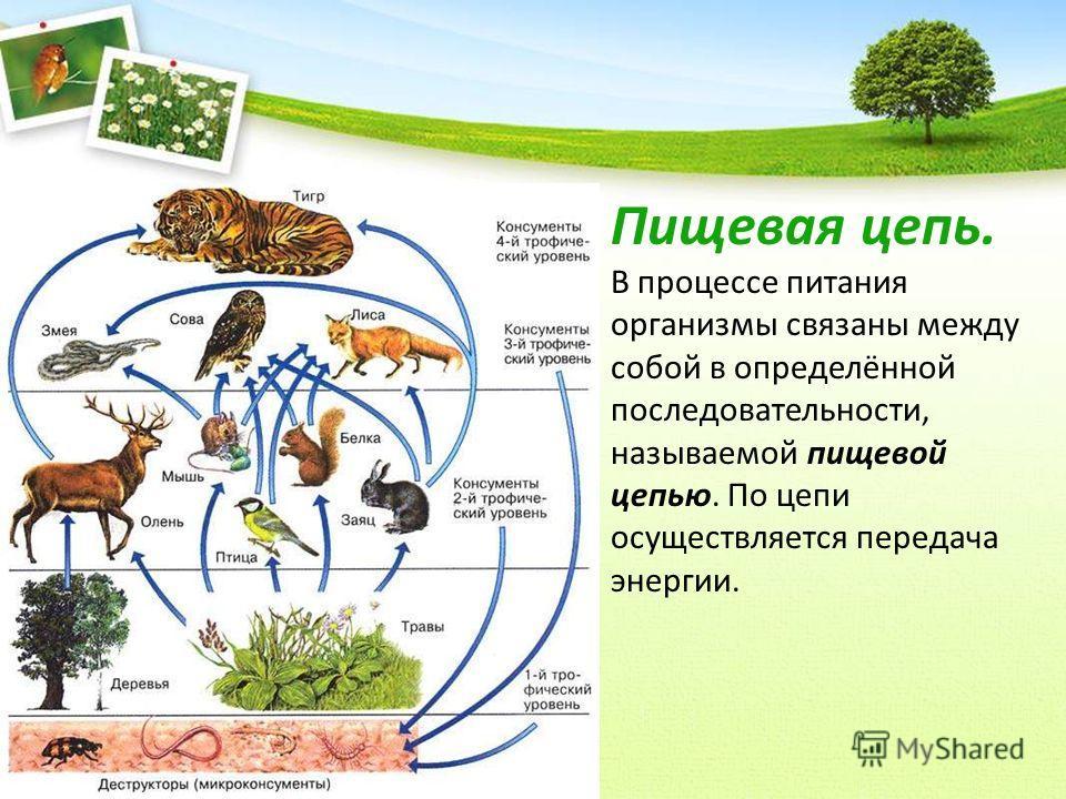 Пищевая цепь. В процессе питания организмы связаны между собой в определённой последовательности, называемой пищевой цепью. По цепи осуществляется передача энергии.