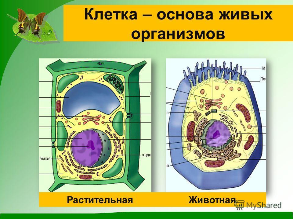 Клетка – основа живых организмов РастительнаяЖивотная
