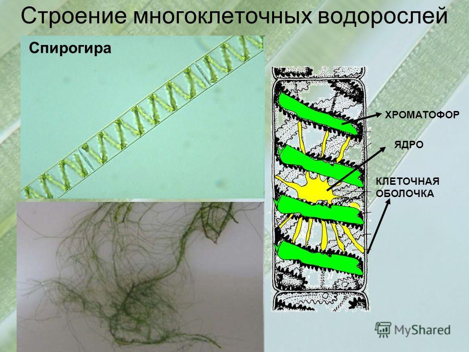 Строение многоклеточных водорослей Спирогира ХРОМАТОФОР ЯДРО КЛЕТОЧНАЯ ОБОЛОЧКА