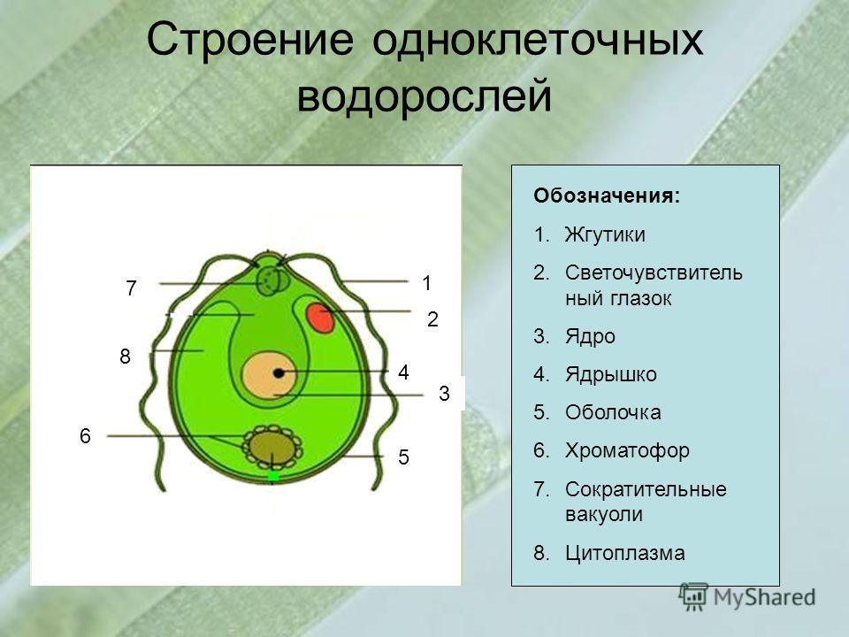 Строение одноклеточных водорослей 1 2 3 4 5 7 6 8 Обозначения: 1.Жгутики 2.Светочувствитель ный глазок 3.Ядро 4.Ядрышко 5.Оболочка 6.Хроматофор 7.Сократительные вакуоли 8.Цитоплазма