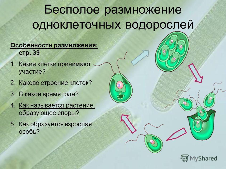 Бесполое размножение одноклеточных водорослей Особенности размножения: стр. 39 1.Какие клетки принимают участие? 2.Каково строение клеток? 3.В какое время года? 4.Как называется растение, образующее споры? 5.Как образуется взрослая особь?