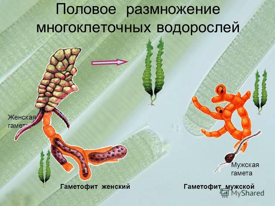 Половое размножение многоклеточных водорослей Гаметофит женскийГаметофит мужской Женская гамета Мужская гамета