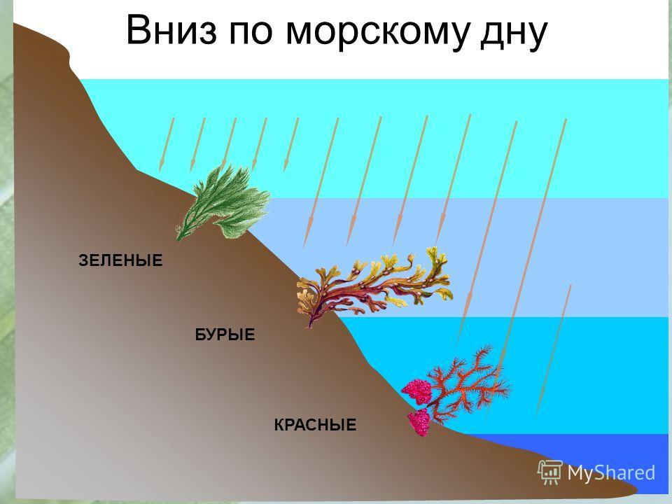 Вниз по морскому дну ЗЕЛЕНЫЕ БУРЫЕ КРАСНЫЕ