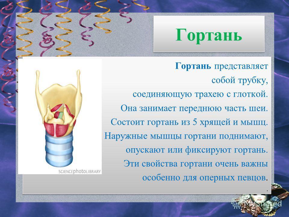 Гортань Гортань представляет собой трубку, соединяющую трахею с глоткой. Она занимает переднюю часть шеи. Состоит гортань из 5 хрящей и мышц. Наружные мышцы гортани поднимают, опускают или фиксируют гортань. Эти свойства гортани очень важны особенно