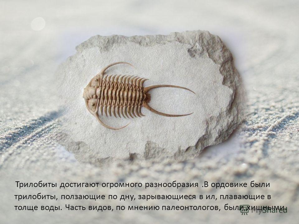 Трилобиты достигают огромного разнообразия.В ордовике были трилобиты, ползающие по дну, зарывающиеся в ил, плавающие в толще воды. Часть видов, по мнению палеонтологов, были хищными.