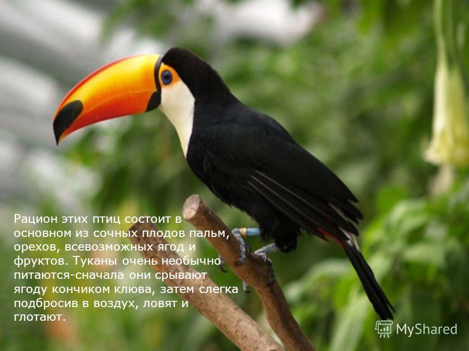Рацион этих птиц состоит в основном из сочных плодов пальм, орехов, всевозможных ягод и фруктов. Туканы очень необычно питаются-сначала они срывают ягоду кончиком клюва, затем слегка подбросив в воздух, ловят и глотают.