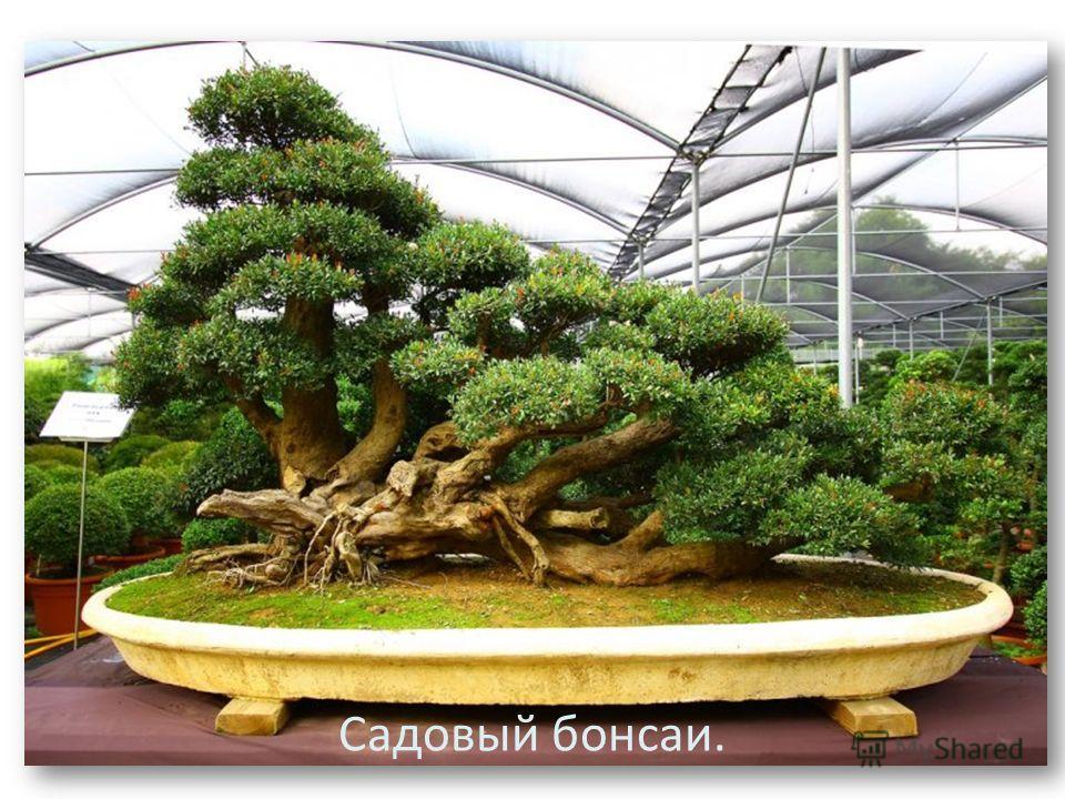 Садовый бонсаи.