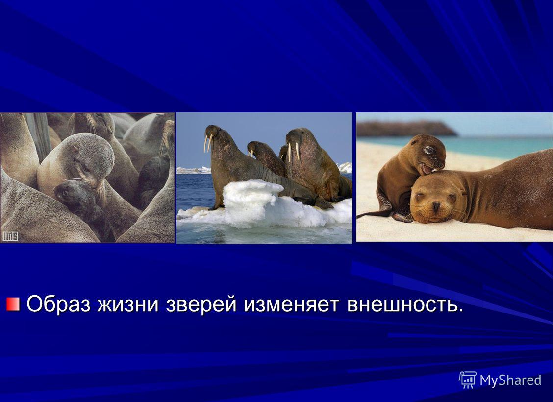 Образ жизни зверей изменяет внешность.