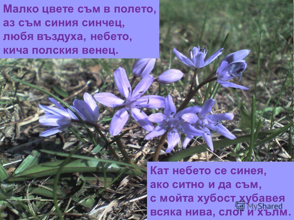 Малко цвете съм в полето, аз съм синия синчец, любя въздуха, небето, кича полския венец. Кат небето се синея, ако ситно и да съм, с мойта хубост хубавея всяка нива, слог и хълм.