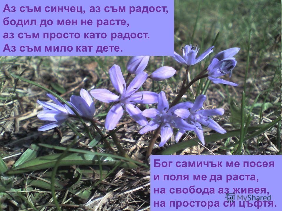 Аз съм синчец, аз съм радост, бодил до мен не расте, аз съм просто като радост. Аз съм мило кат дете. Бог самичък ме посея и поля ме да раста, на свобода аз живея, на простора си цъфтя.