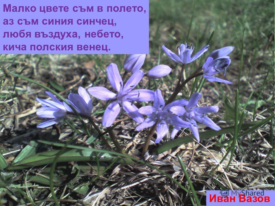 Малко цвете съм в полето, аз съм синия синчец, любя въздуха, небето, кича полския венец. Иван Вазов