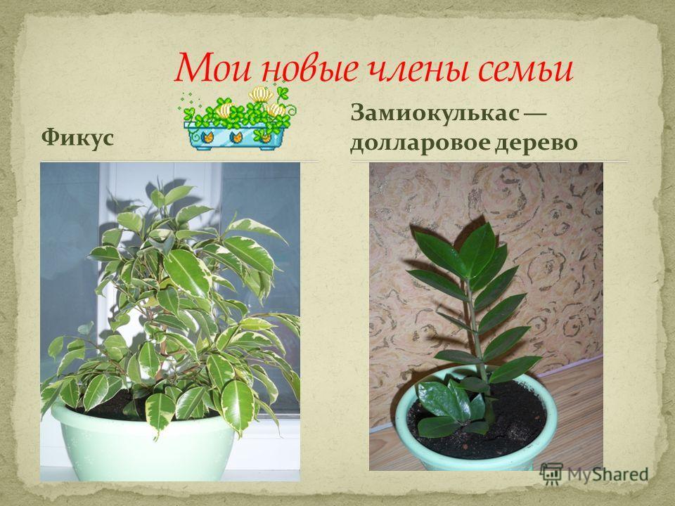Фикус Замиокулькас долларовое дерево