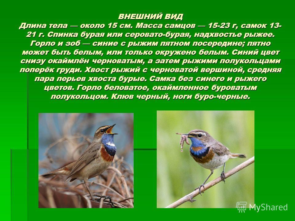 ВНЕШНИЙ ВИД Длина тела около 15 см. Масса самцов 15-23 г, самок 13- 21 г. Спинка бурая или серовато-бурая, надхвостье рыжее. Горло и зоб синие с рыжим пятном посередине; пятно может быть белым, или только окружено белым. Синий цвет снизу окаймлён чер