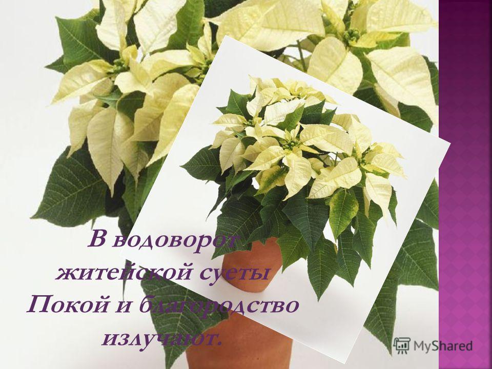 Как я люблю домашние цветы, Что быт наш ежедневно украшают,