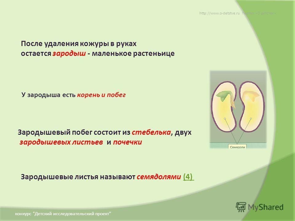 После удаления кожуры в руках остается зародыш - маленькое растеньице Зародышевые листья называют семядолями (4)(4) У зародыша есть корень и побег Зародышевый побег состоит из стебелька, двух зародышевых листьев и почечки http://www.o-detstve.ru Порт