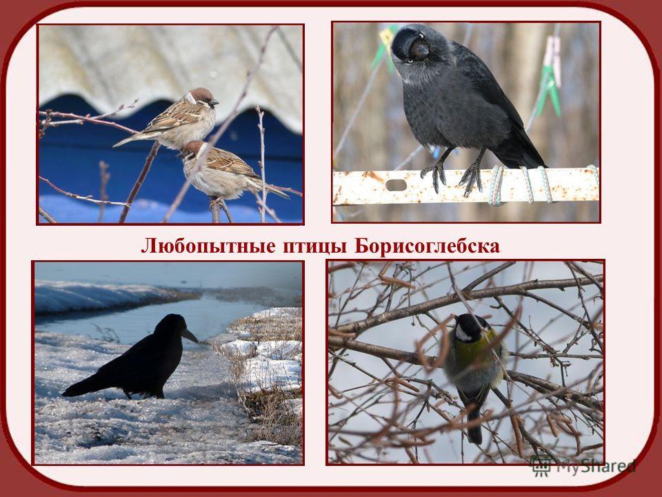 Любопытные птицы Любопытные птицы Борисоглебска
