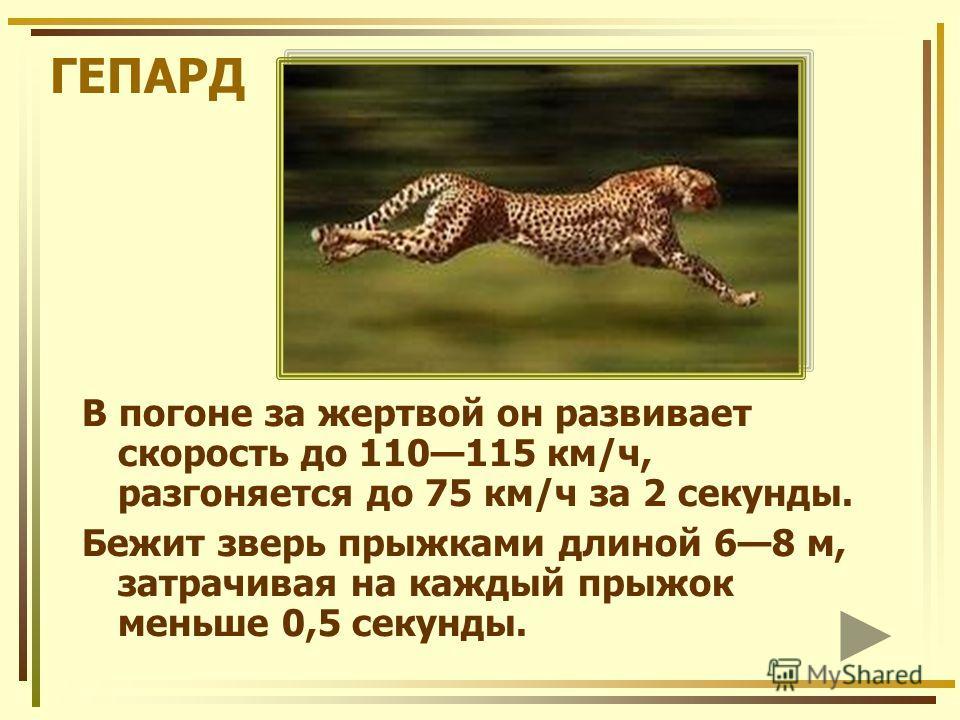 ГЕПАРД В погоне за жертвой он развивает скорость до 110115 км/ч, разгоняется до 75 км/ч за 2 секунды. Бежит зверь прыжками длиной 68 м, затрачивая на каждый прыжок меньше 0,5 секунды.