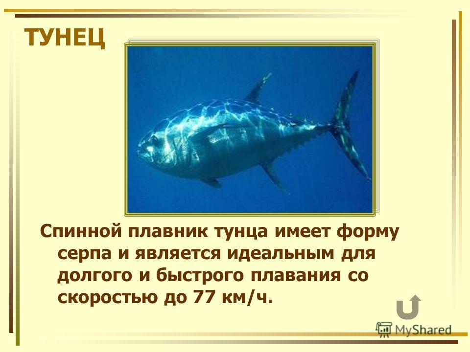 ТУНЕЦ Спинной плавник тунца имеет форму серпа и является идеальным для долгого и быстрого плавания со скоростью до 77 км/ч.