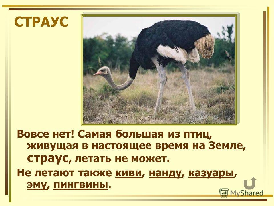 СТРАУС Вовсе нет! Самая большая из птиц, живущая в настоящее время на Земле, страус, летать не может. Не летают также киви, нанду, казуары, эму, пингвины.кивинандуказуары эмупингвины