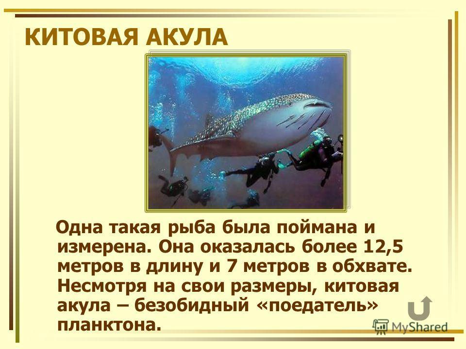 КИТОВАЯ АКУЛА Одна такая рыба была поймана и измерена. Она оказалась более 12,5 метров в длину и 7 метров в обхвате. Несмотря на свои размеры, китовая акула – безобидный «поедатель» планктона.