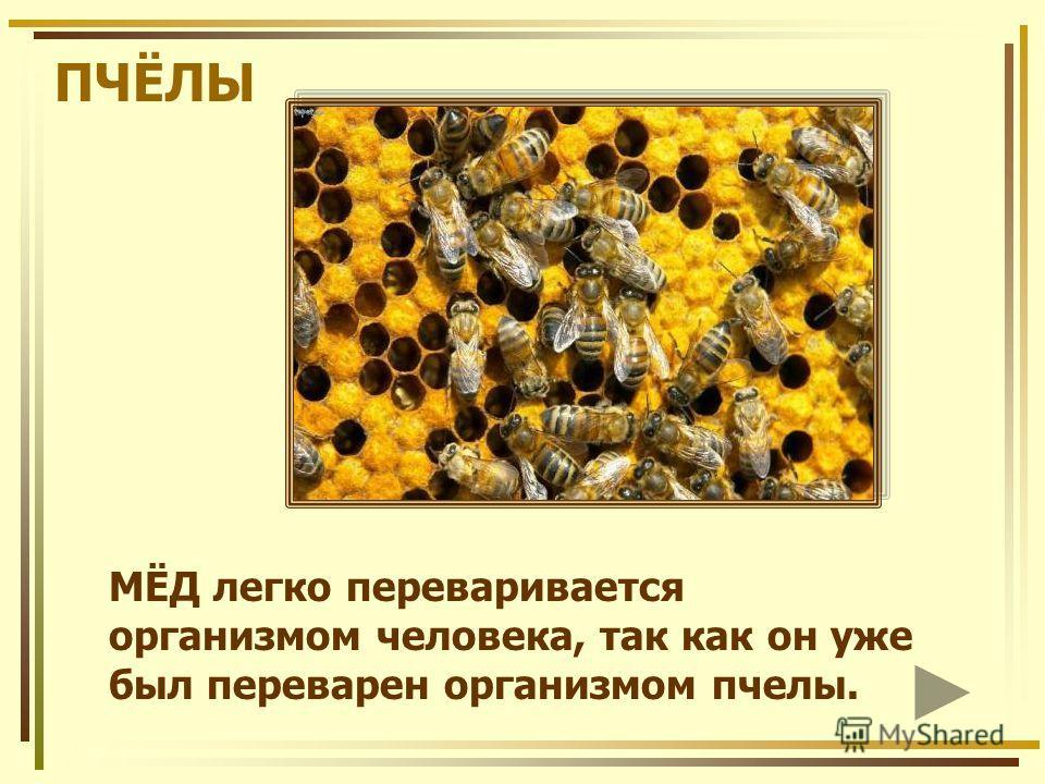 ПЧЁЛЫ МЁД легко переваривается организмом человека, так как он уже был переварен организмом пчелы.