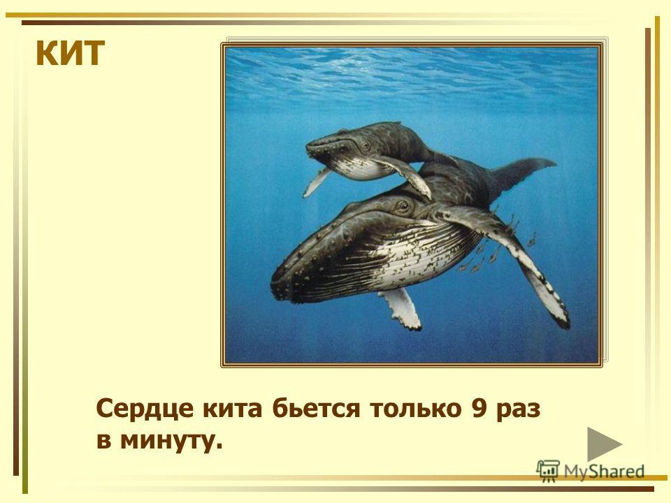 КИТ Сердце кита бьется только 9 раз в минуту.