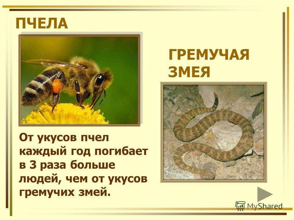 ПЧЕЛА От укусов пчел каждый год погибает в 3 раза больше людей, чем от укусов гремучих змей. ГРЕМУЧАЯ ЗМЕЯ