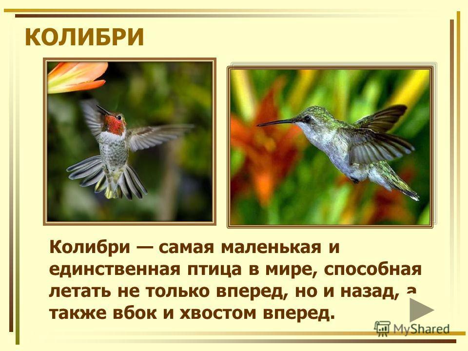КОЛИБРИ Колибри самая маленькая и единственная птица в мире, способная летать не только вперед, но и назад, а также вбок и хвостом вперед.