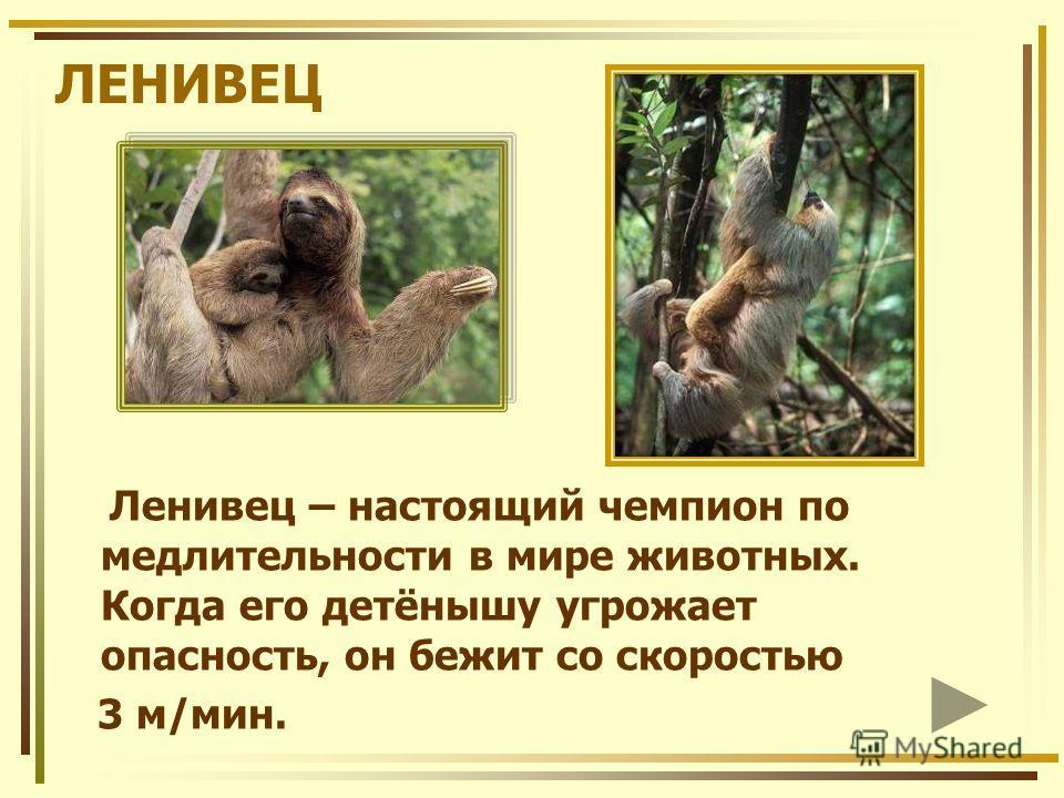 ЛЕНИВЕЦ Ленивец – настоящий чемпион по медлительности в мире животных. Когда его детёнышу угрожает опасность, он бежит со скоростью 3 м/мин.