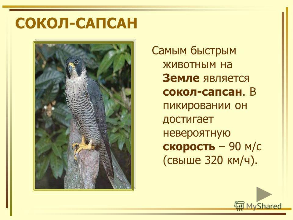СОКОЛ-САПСАН Самым быстрым животным на Земле является сокол-сапсан. В пикировании он достигает невероятную скорость – 90 м/с (свыше 320 км/ч).