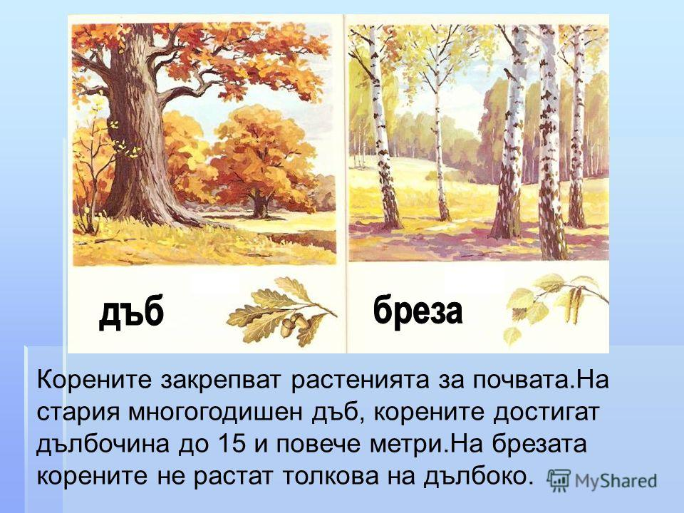 Корените закрепват растенията за почвата.На стария многогодишен дъб, корените достигат дълбочина до 15 и повече метри.На брезата корените не растат толкова на дълбоко.