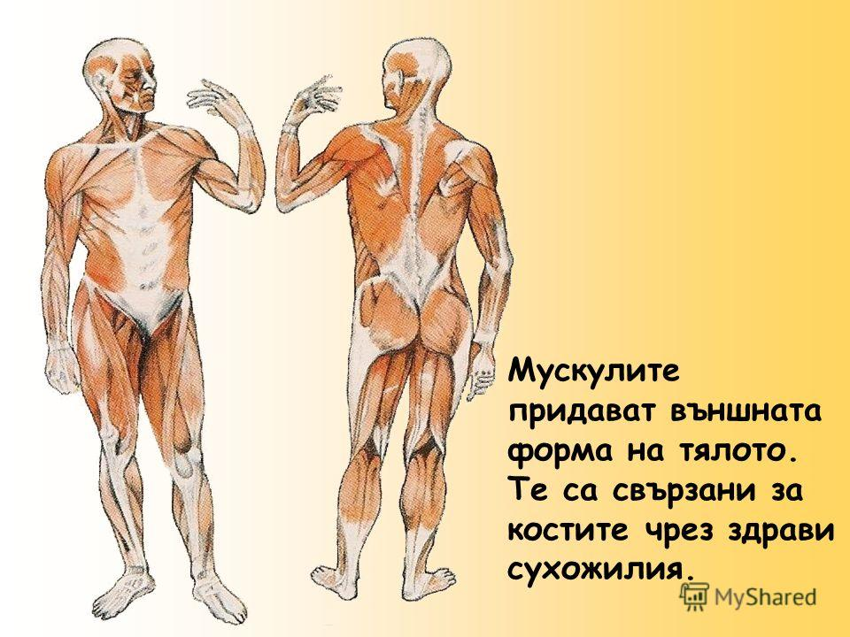 Мускулите придават външната форма на тялото. Те са свързани за костите чрез здрави сухожилия.