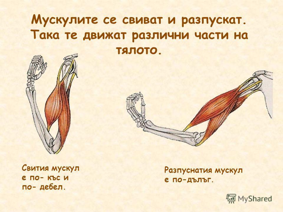 Мускулите се свиват и разпускат. Така те движат различни части на тялото. Свития мускул е по- къс и по- дебел. Разпуснатия мускул е по-дълъг.