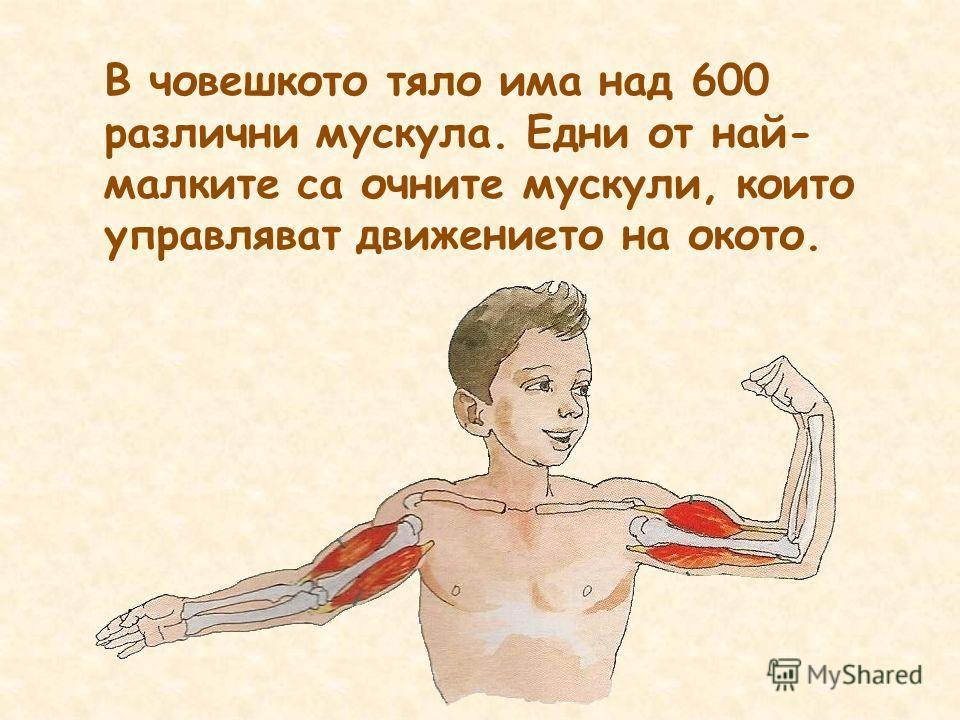 В човешкото тяло има над 600 различни мускула. Едни от най- малките са очните мускули, които управляват движението на окото.
