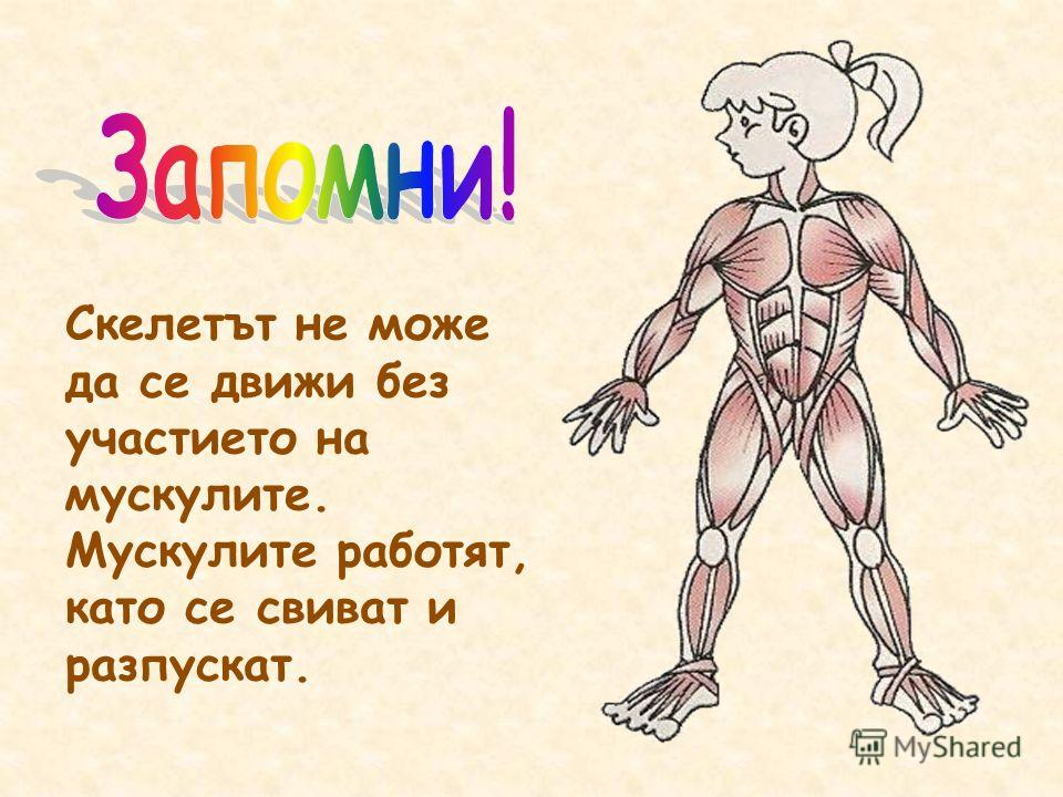 Скелетът не може да се движи без участието на мускулите. Мускулите работят, като се свиват и разпускат.