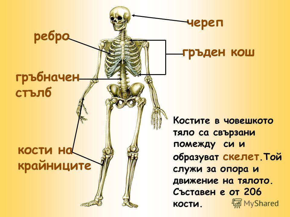 череп гръден кош ребро гръбначен стълб Костите в човешкото тяло са свързани помежду си и образуват скелет.Той служи за опора и движение на тялото. Съставен е от 206 кости. кости на крайниците