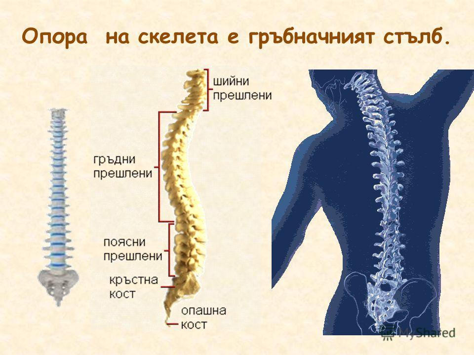 Опора на скелета е гръбначният стълб.
