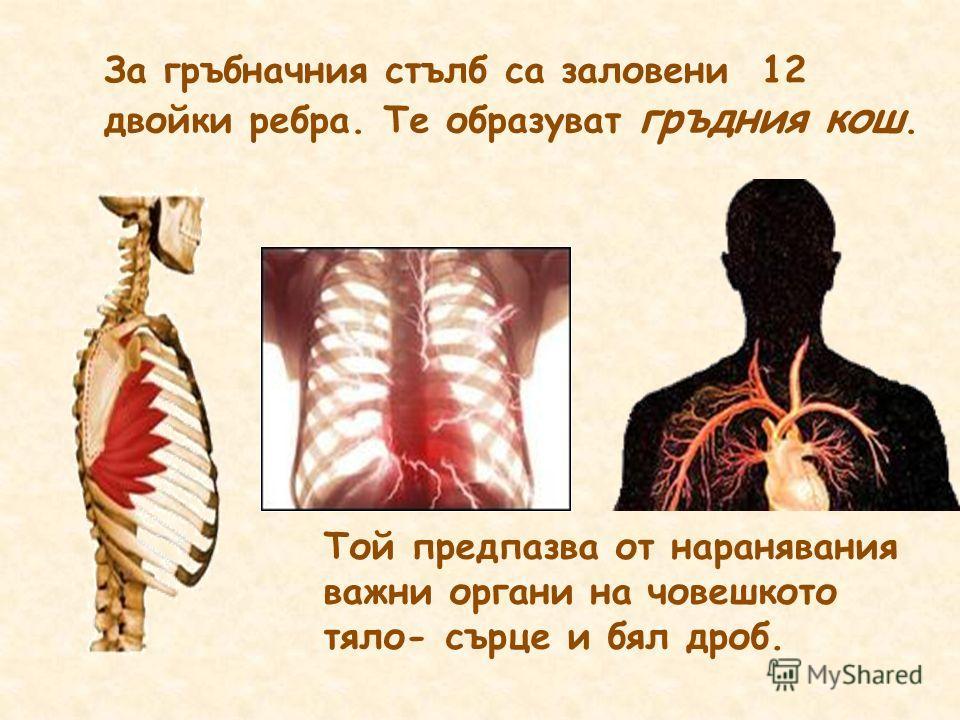 За гръбначния стълб са заловени 12 двойки ребра. Те образуват гръдния кош. Той предпазва от наранявания важни органи на човешкото тяло- сърце и бял дроб.