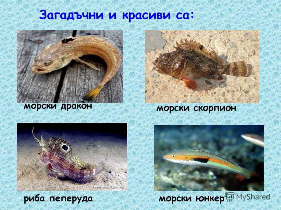 Рибите в Черно море са около 140 вида. калкан скумрия сафридхамсия