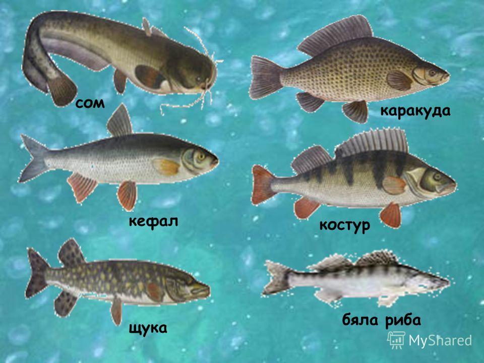 В сладководните басейни на България намират своята среда за живот много гръбначни животни. Река Искър езерото Сребърна язовир шаран