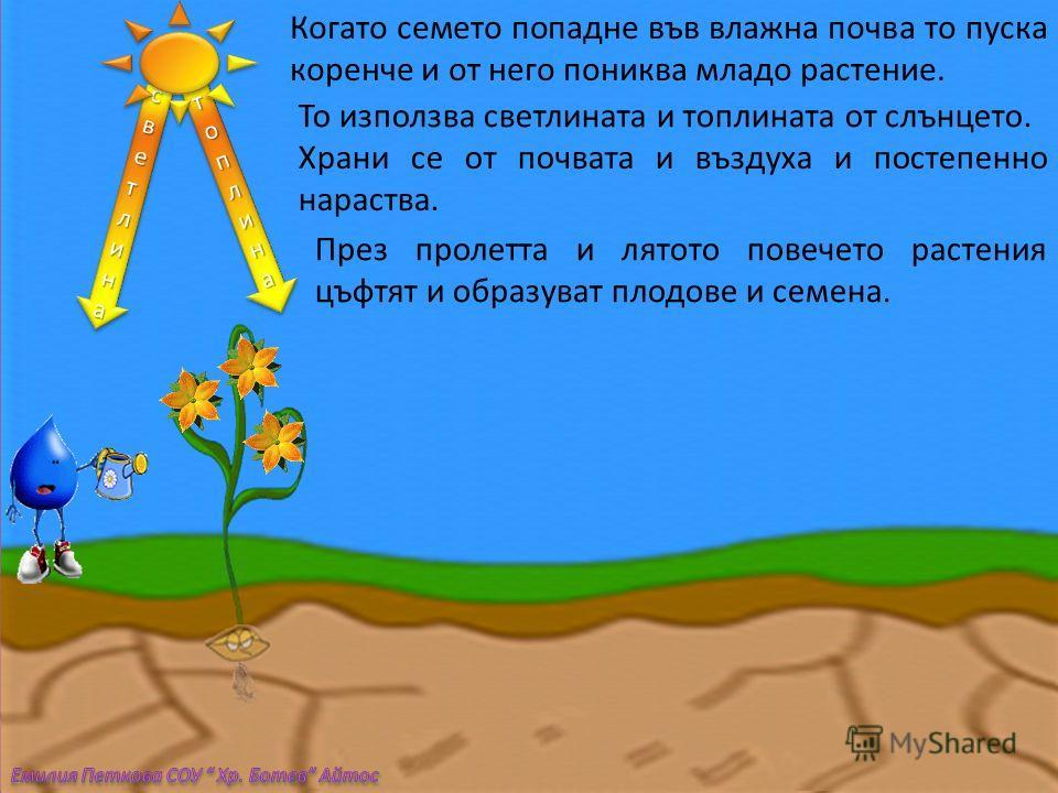 Когато семето попадне във влажна почва то пуска коренче и от него пониква младо растение. светлинасветлинасветлинасветлина светлинасветлинасветлинасветлина топлинатоплинатоплинатоплина топлинатоплинатоплинатоплина То използва светлината и топлината о