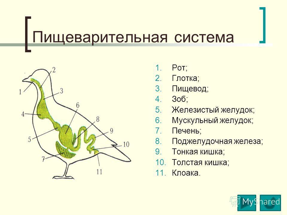 Пищеварительная система 1.Рот; 2.Глотка; 3.Пищевод; 4.Зоб; 5.Железистый желудок; 6.Мускульный желудок; 7.Печень; 8.Поджелудочная железа; 9.Тонкая кишка; 10.Толстая кишка; 11.Клоака.