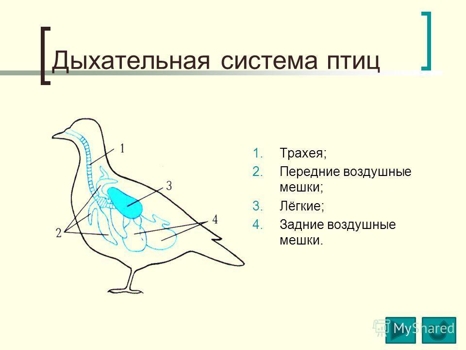 Дыхательная система птиц 1.Трахея; 2.Передние воздушные мешки; 3.Лёгкие; 4.Задние воздушные мешки.