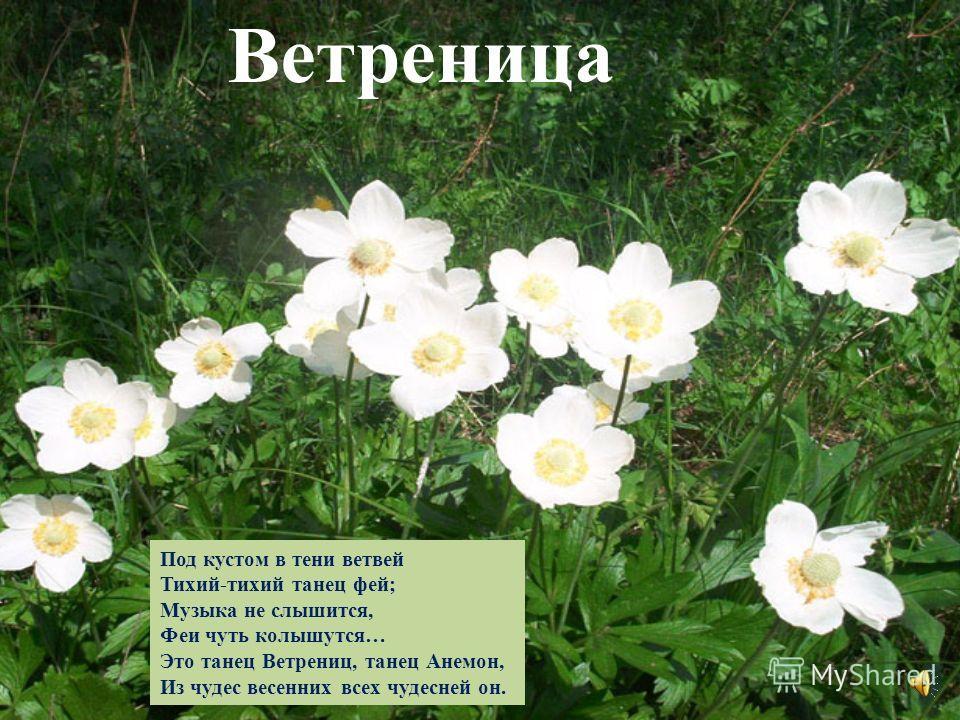 Это прозвище не даром У красивого цветка, Капля сочного нектара И душиста, и сладка. От простуды излечиться Вам поможет медуница. Медуница