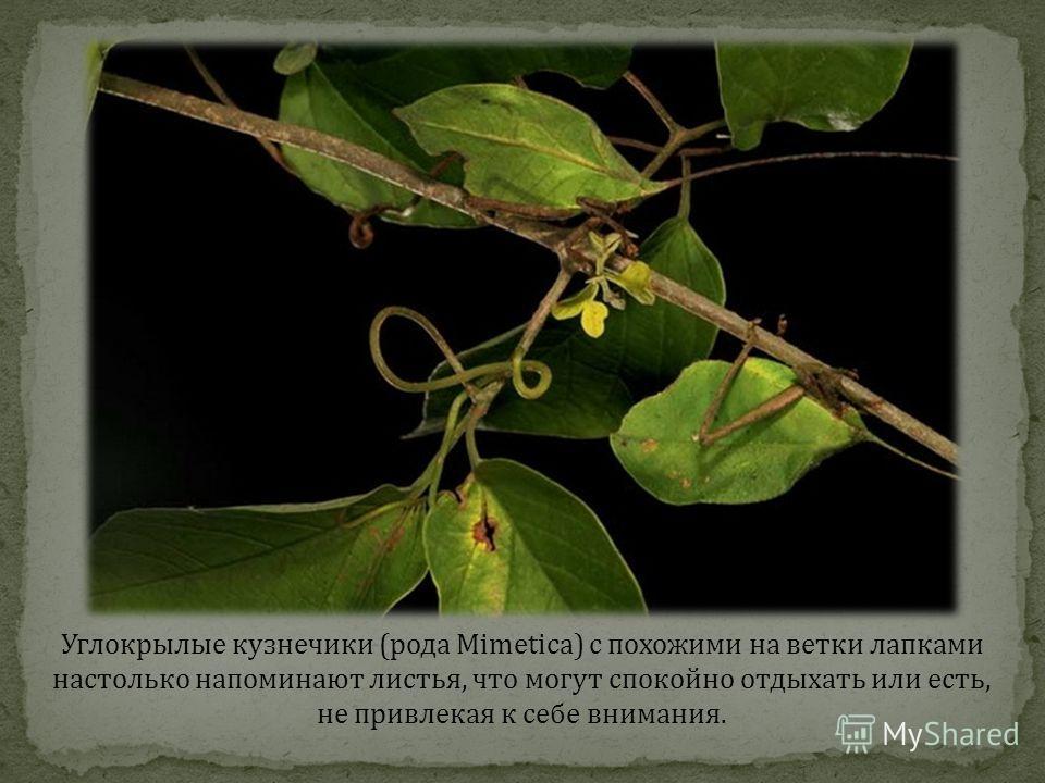 Углокрылые кузнечики (рода Mimetica) с похожими на ветки лапками настолько напоминают листья, что могут спокойно отдыхать или есть, не привлекая к себе внимания.