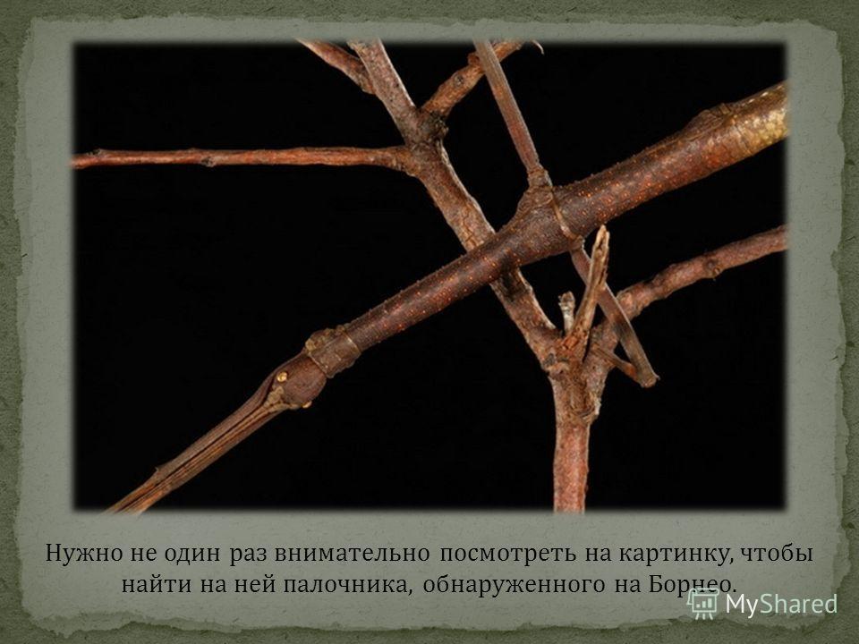 Нужно не один раз внимательно посмотреть на картинку, чтобы найти на ней палочника, обнаруженного на Борнео.